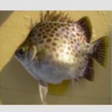 Quy trình sản xuất giống cá Nâu