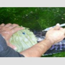 Quy trình sản xuất giống cá Lóc bông