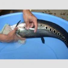 Quy trình sản xuất giống và nuôi cá Nàng Hai