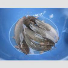 Quy trình sản xuất giống cá Trê vàng